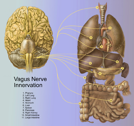 The vagus nerve, emotions and the difficulty with mindfulness